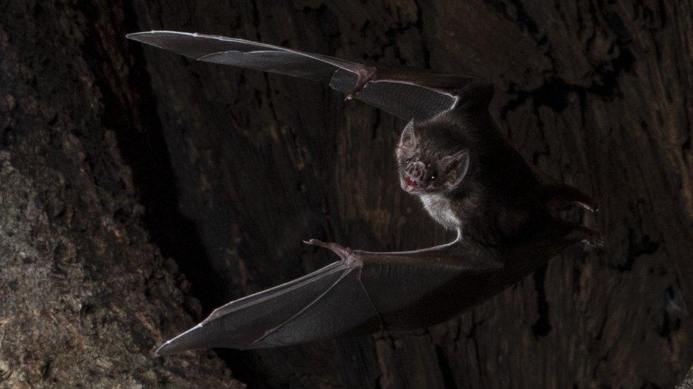 Vampir yarasa