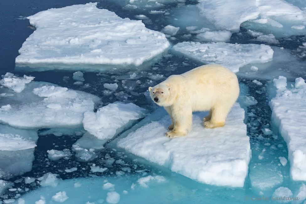 Oso en un bloque de hielo fragmentado