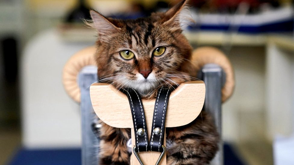 A cat is seen recieving an acupuncture treatment in China. It stares down camera and is in a harness,