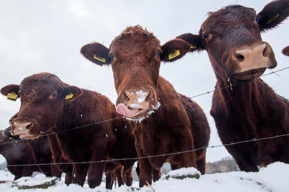 Three cows in snow behind a wire fence