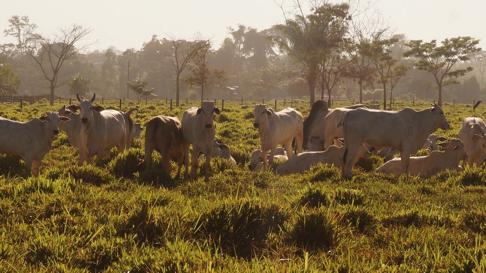 Cattle in Mato Grosso, Brazil (July 2015)
