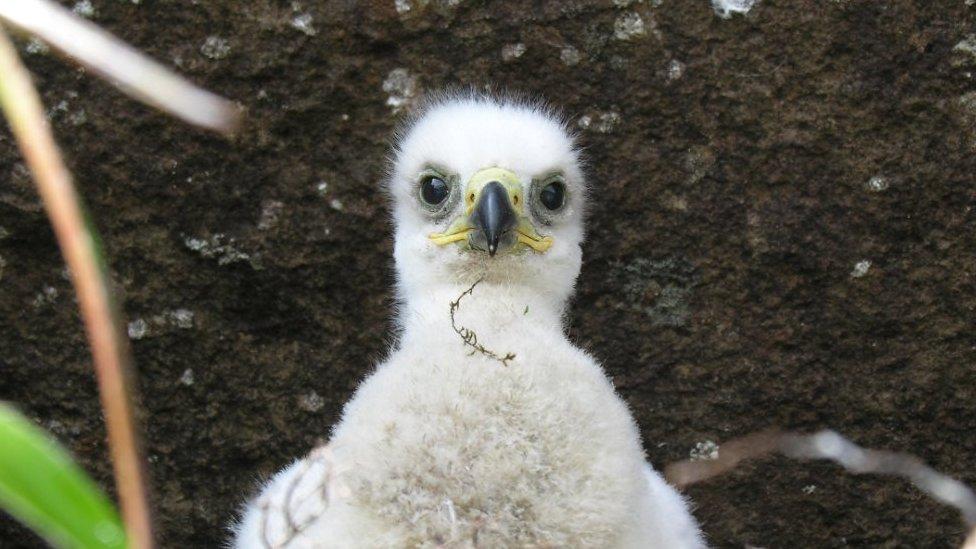 Golden eagle chick (c) Iain Erskine