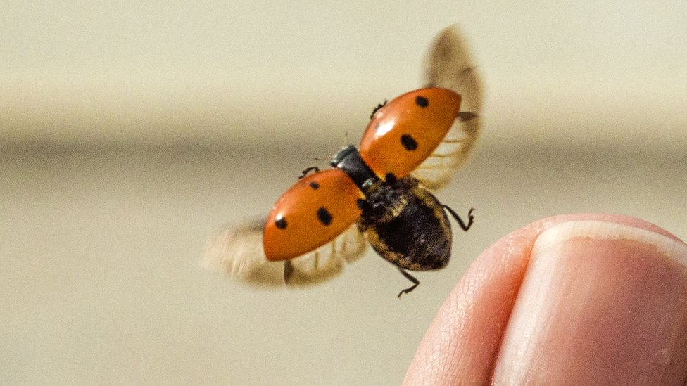 Seven-spotted ladybird taking off