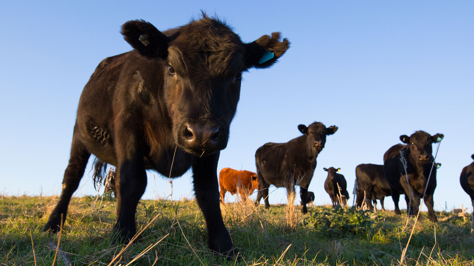 A calf standing apart from the herd