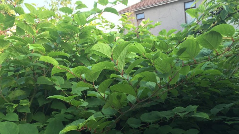Japanese knotweed: Property firm fined £18k over 'forest'