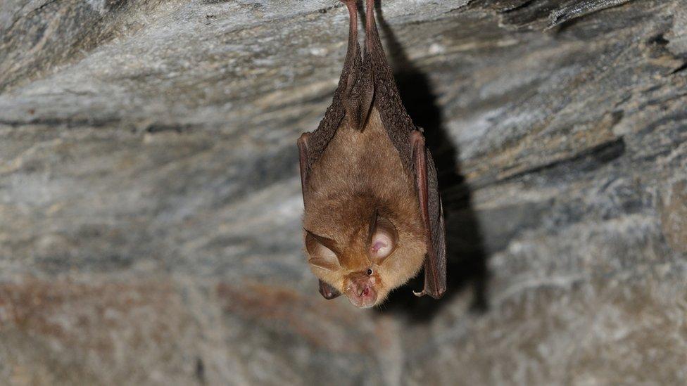 Rare horseshoe bat concerns Kingskerswell railway tree felling