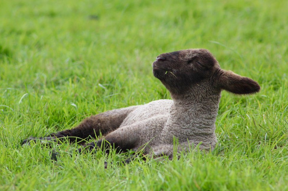 A sheep lying down on the grass