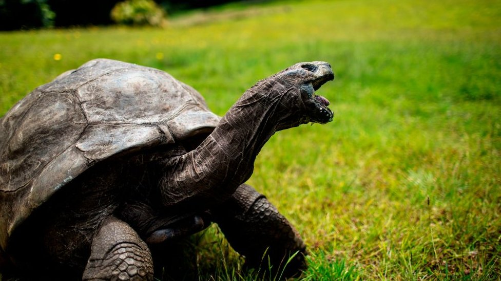 Jonathan, a Seychelles giant tortoise - believed to be the oldest living being on earth