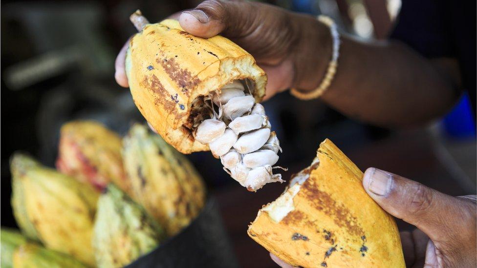Plod kakaoa