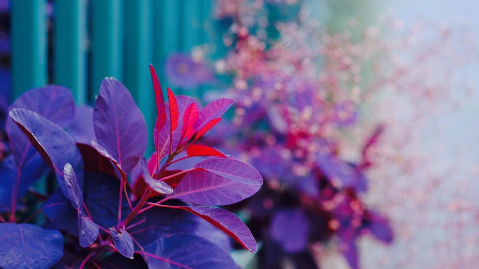 Smoke bush plant