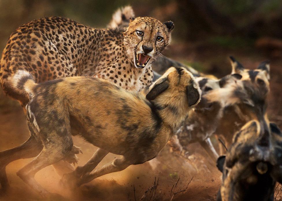 perros salvajes guepardo