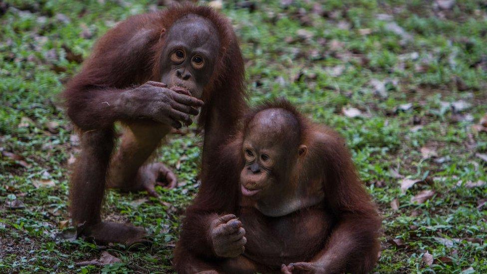 Čovekoliki majmuni se takođe smeju, tvrde naučnici