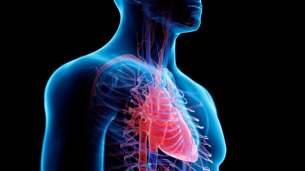 Ilustración de un torso en el que se ve el corazón y los vasos sanguíneos