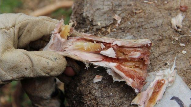 Sumsum di dalam tulang setelah disimpan selama enam minggu.