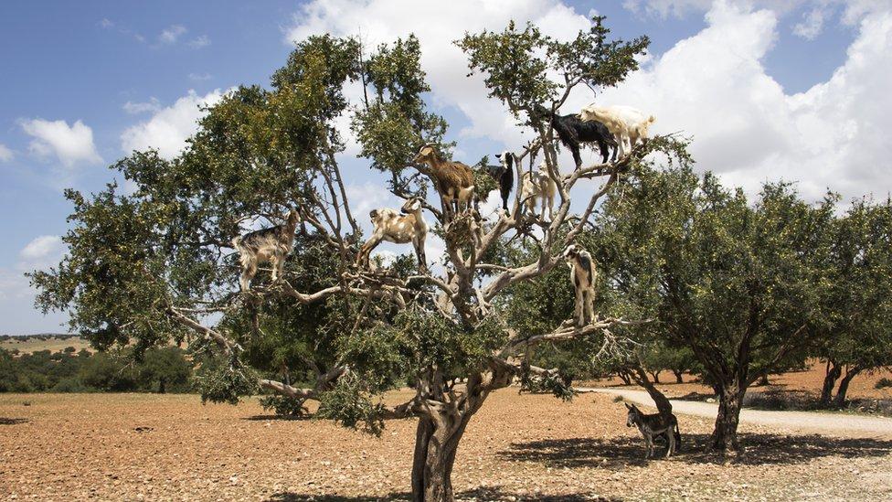 Goats climbing a Argan tree