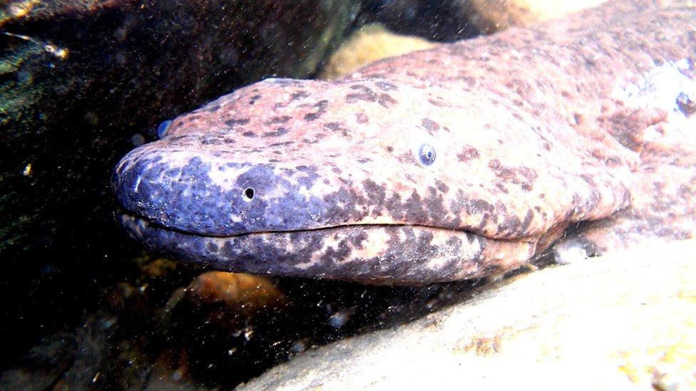 Wild Chinese giant salamander