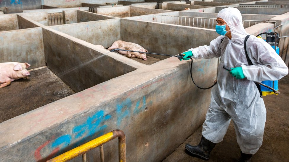 A worker in protective gear disinfects pigs at a pig farm on August 22, 2018 in Jinhua, Zhejiang Province of China. (Photo by VCG/VCG via Getty Images)