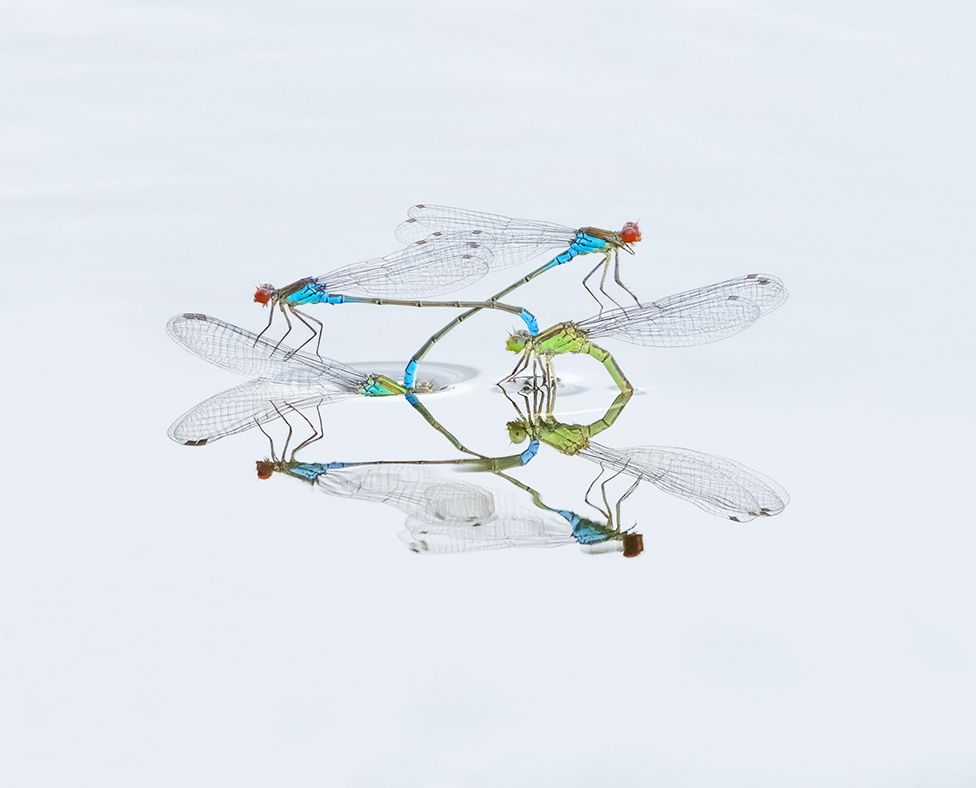 A close up photo of two damselflies on the surface of water