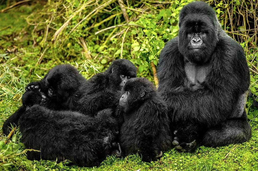 Un gorila macho con gorilas más pequeños