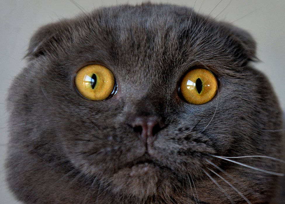 A Scottish Fold cat is pictured during a cat exhibition in Bishkek on March 20, 2016
