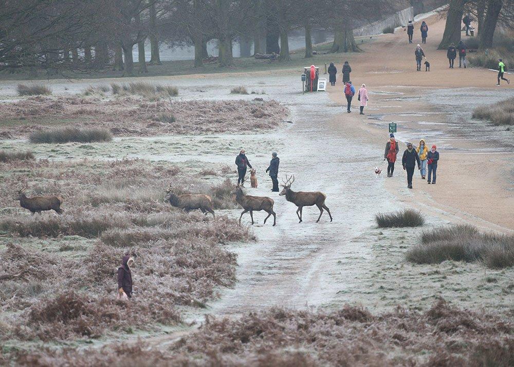 في ريتشموند بارك، جنوبي لندن، يستمتع الناس بالسير في الصباح الباكر فيها وسط قطيع الغزلان.