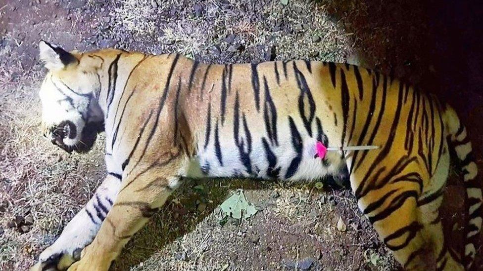 Indija: Šta nije u redu sa ubistvom tigrice ljudožderke