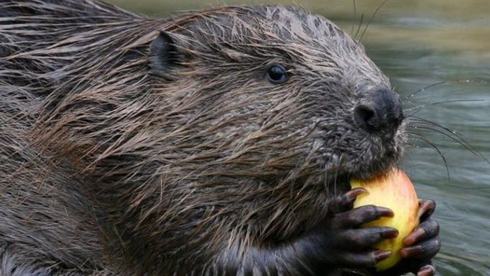 Beavers to become protected species in Scotland