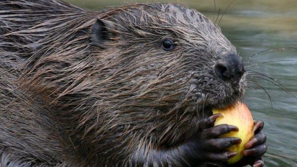 Beaver reintroduction positive example of 'rewilding' says study