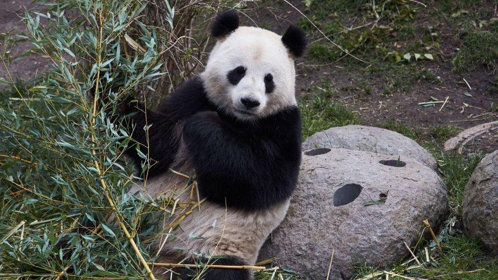 Oso panda en un zoológico en Dinamarca.