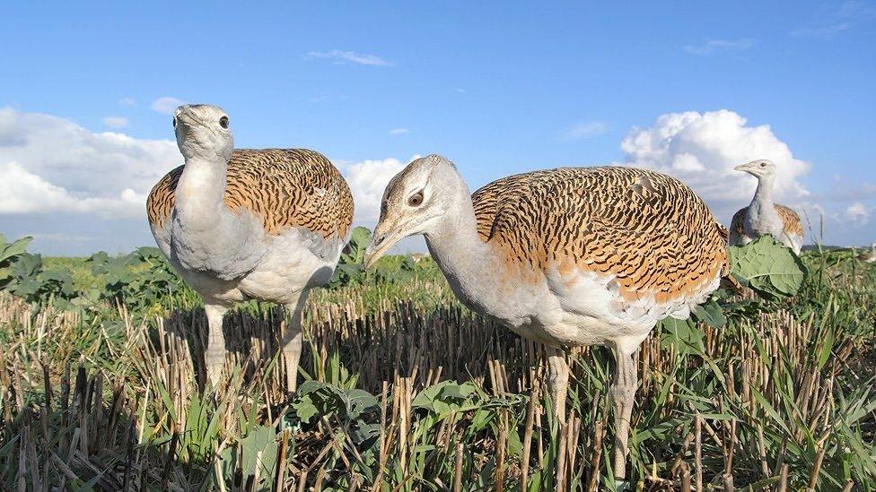 Great bustard chicks