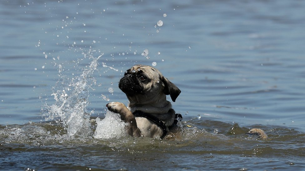 Norman the puggle takes a dip in the sea at Portobello beach, Edinburgh