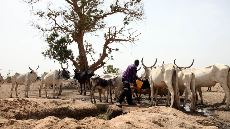 A Fulani herdsman water his cattle on a dusty plain between Malkohi and Yola town on May 7, 2015