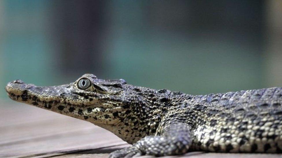 Чоловік виголошував промову в океанаріумі в Стокгольмі, коли його вкусив крокодил