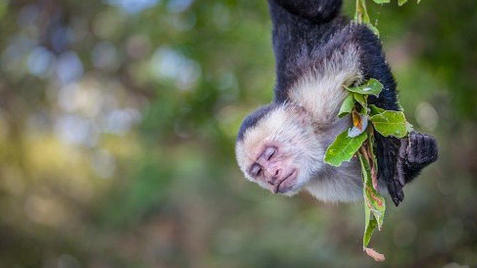 Научный дайджест: грипп, который вымер, и чем обезьяна-капуцин отличается от биржевого игрока
