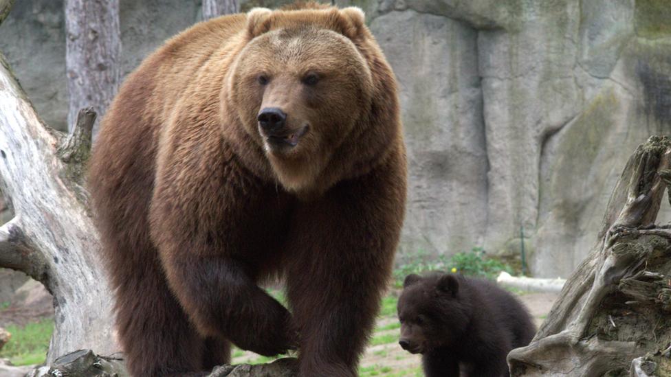The Kamchatka brown bear