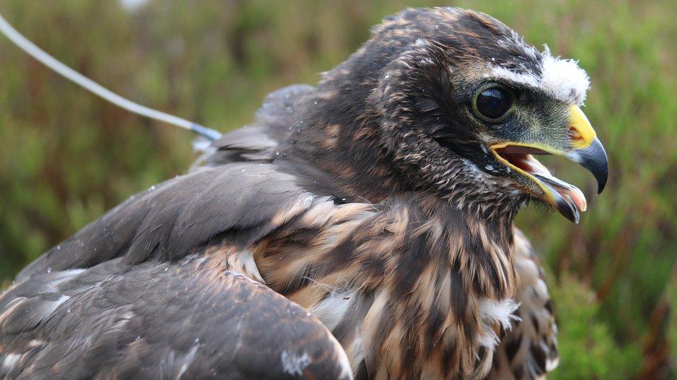 Many bird of prey killings in Scotland are 'unreported'