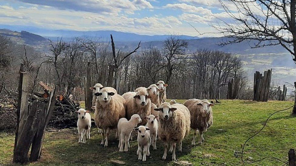 Stado ima 11 odraslih ovaca i devet jagnjadi
