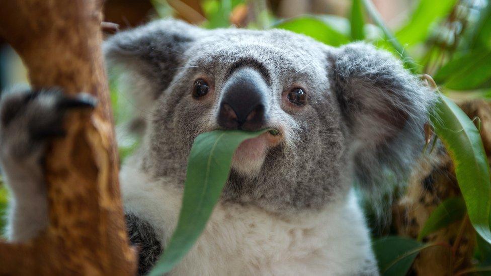 Сотні коал заживо згоріли під час лісової пожежі в Австралії