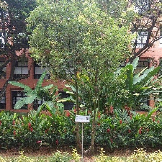 Árbol alcanforero en el jardín de la Universidad Icesi en Cali