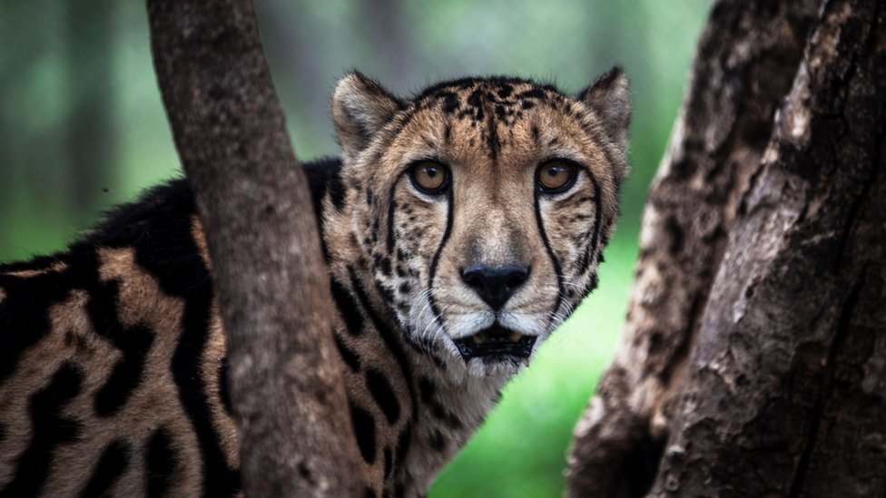 A cheetah looks directly at the camera from between two branches