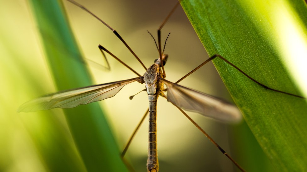 Scotland's Rural College predicts daddy longlegs increase