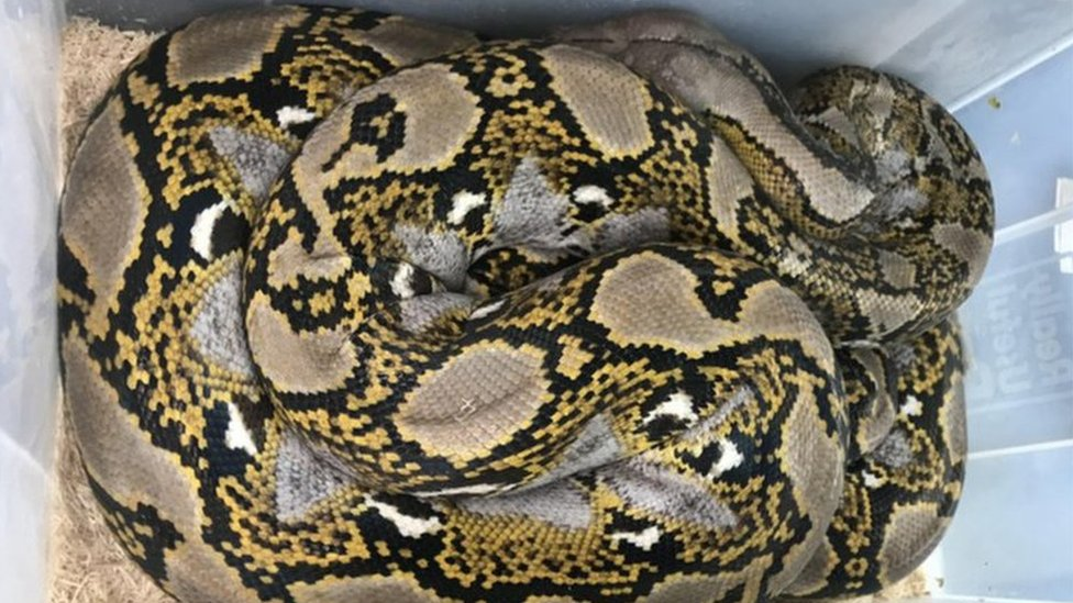 Reticulated Python dumped in Somerset lay-by