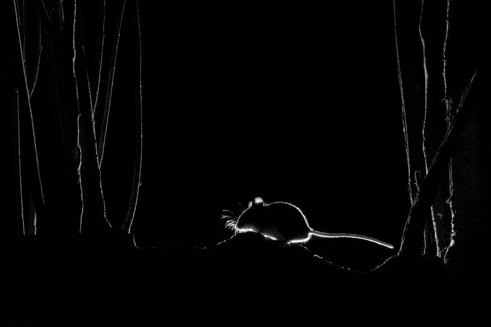 صوره بالأبيض والأسود لفأر الغابات في المساء