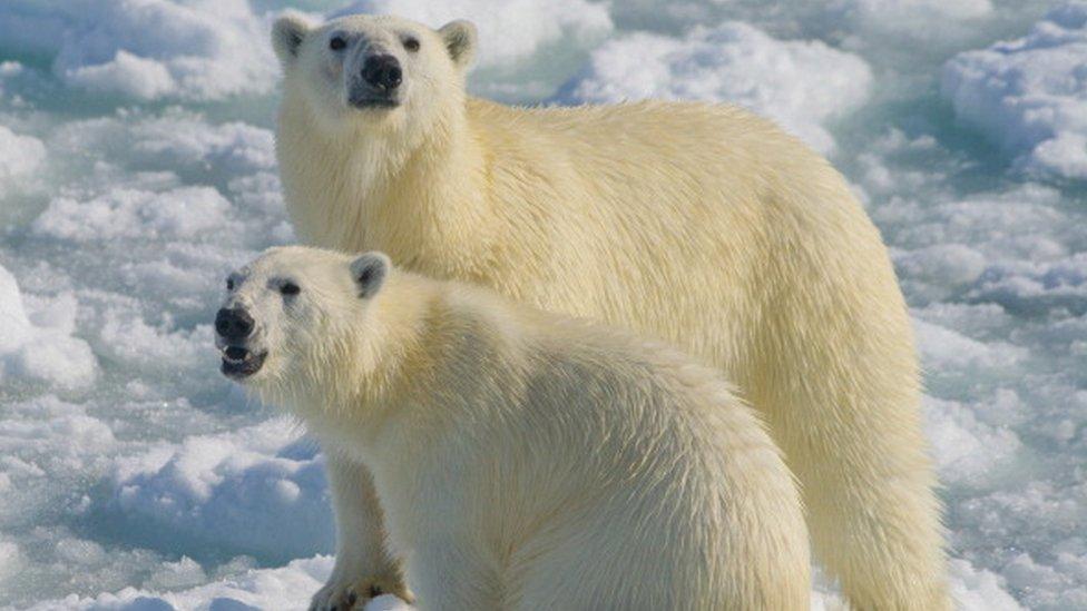 Біла ведмедиця