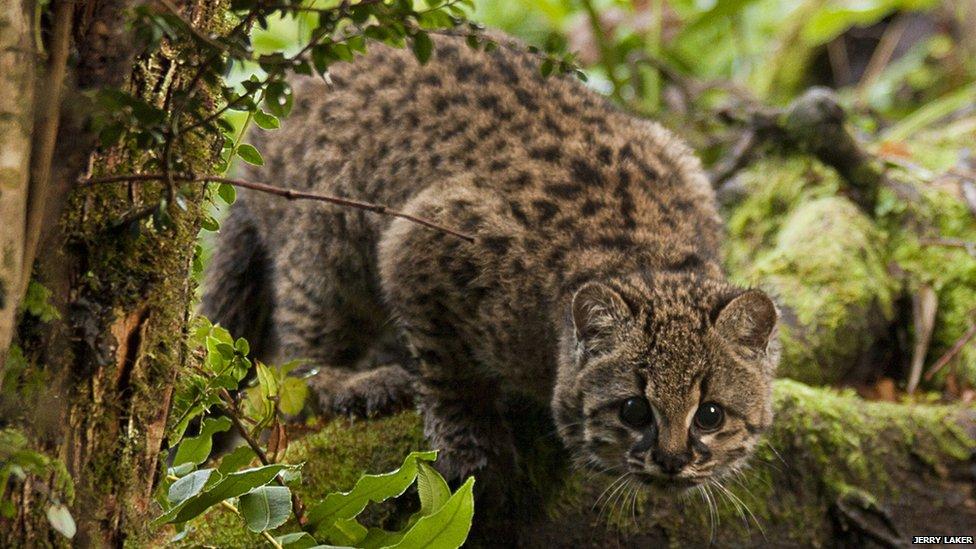 Güiña wildcat of Chile