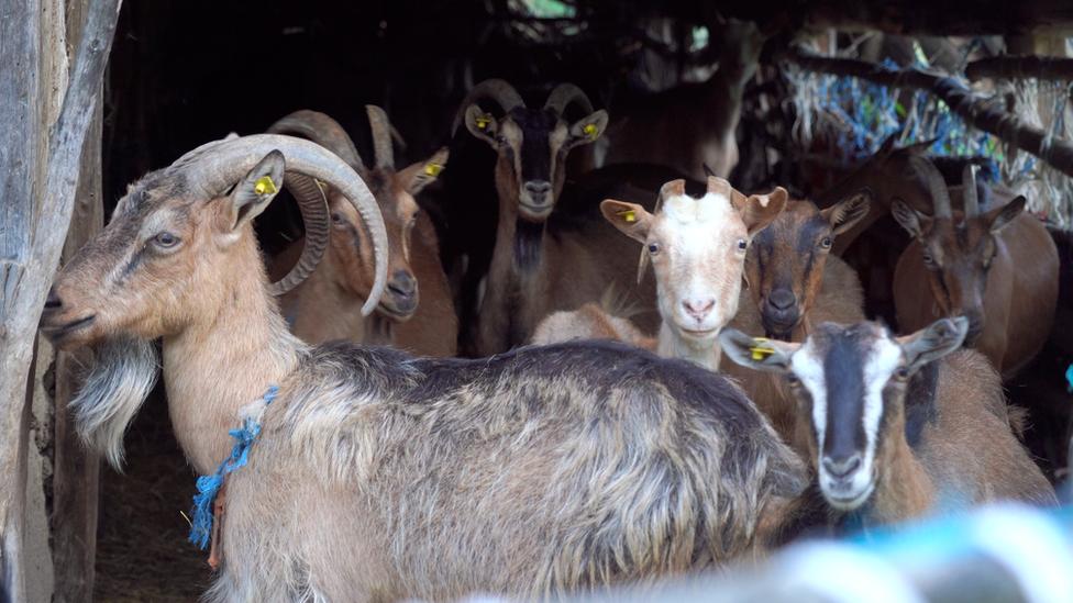 Koze u selu Metovnica