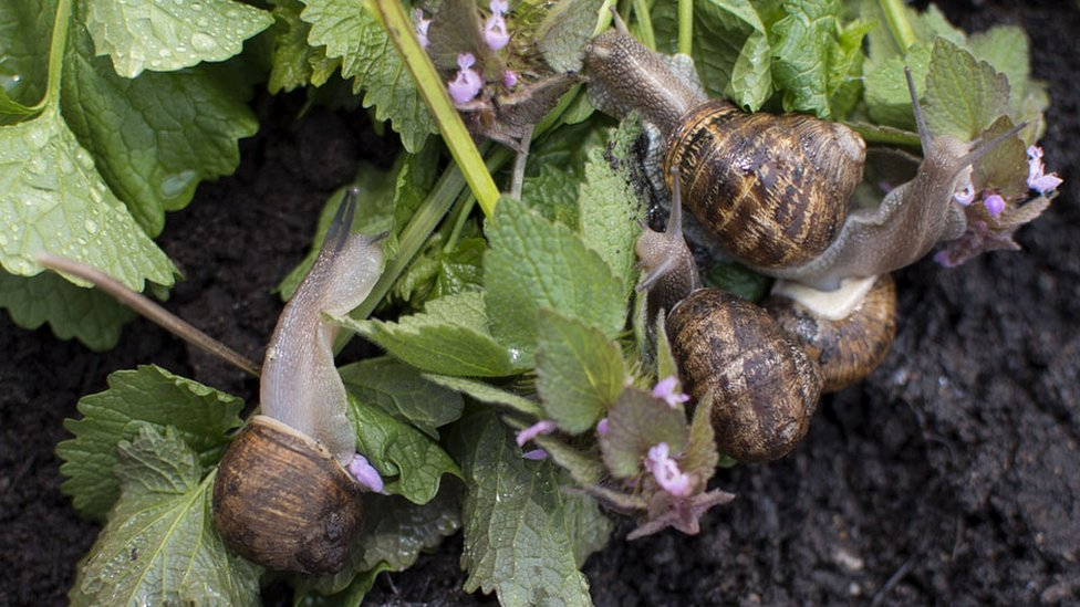 Zut Alors The Americans Who Are Farming Edible Snails Bbc News