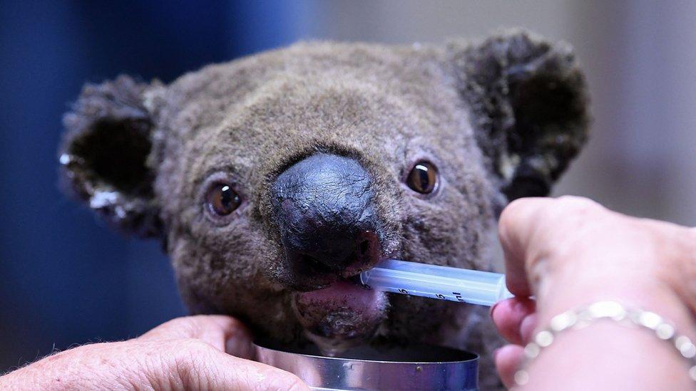 Un koala herido en los incendios forestales en Nueva Gales del Sur.