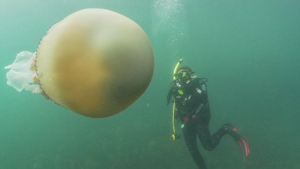 Medusa y un buzo