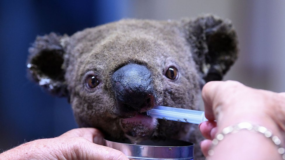 Koala kehausan di Rumah Sakit Koala di Port Macquarie Koala 2 November 2019.